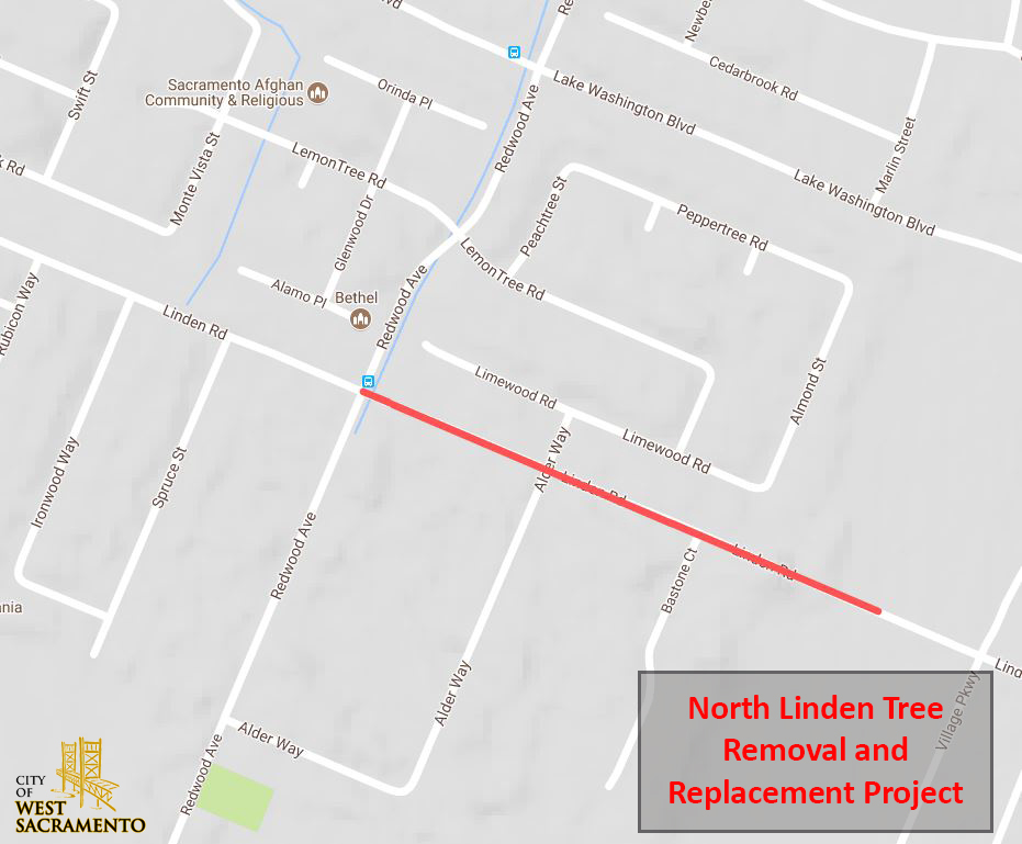 linden tallow tree removal project