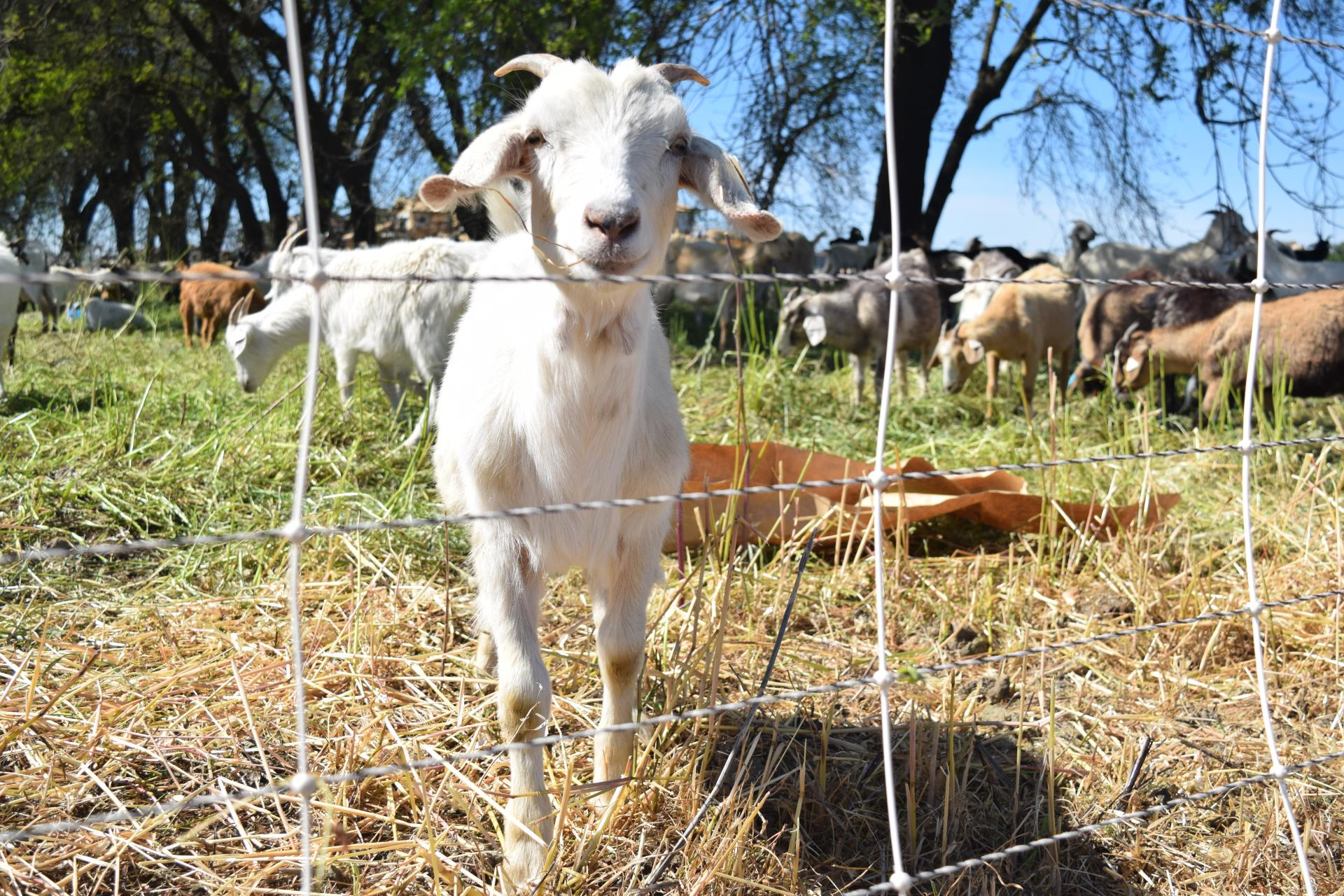 white goat at heritage oaks site eats grass
