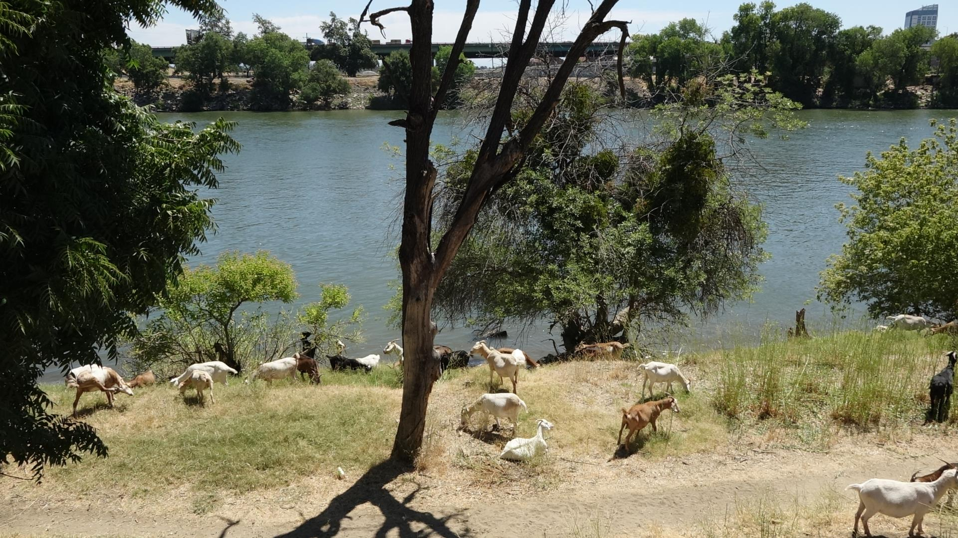 Group of goats by the Sacramento River